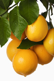 Oranges Hanging from Tree Photographic Print by Martin Harvey