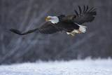Bald Eagle in Flight over Snow Fotografisk trykk av W. Perry Conway