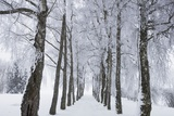 Winter Landscape with Snow Covered Birch Alley Fotografie-Druck von Frank Krahmer