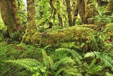 Moss-Covered Trees in North American Rainforest Fotografie-Druck von Frank Krahmer