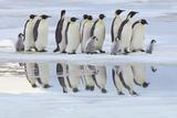 Emperor Penguins (Aptenodytes Forsteri) Fotografie-Druck von Frank Krahmer