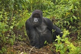 Mountain Gorilla (Gorilla Beringei Beringei) Silverback Fotografie-Druck von Frank Krahmer