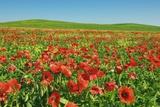 Corn Poppy Field (Papaver Rhoeas) on Resting Field Fotografie-Druck von Frank Krahmer