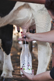 Farmer Hand Milking Cow into Milk Bottle Photographic Print by Martin Harvey