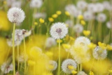 Beautiful Background with Yellow and White Dandelions Fotografisk tryk af Frank Krahmer
