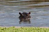 Hippopotamus, Masai Mara Fotografisk tryk af Sergio Pitamitz