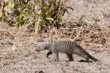 Banded Mongoose (Mungos Mungo) Lámina fotográfica por Sergio Pitamitz
