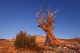 Bristlecone Pine (Pinus Longaeva) in the White Mountains Reproduction photographique par Frank Krahmer