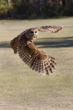 Barred Owl in Flight Reproduction photographique par Hal Beral