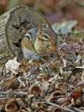 Eastern American Chipmunk Photographic Print by Gary Carter