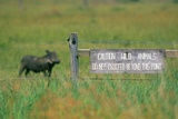 Warthog in Kenya Lámina fotográfica por Buddy Mays