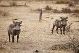 Young Warthogs Lámina fotográfica por Michele Westmorland
