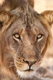 Young Male Lion (Panthera Leo) Fotografie-Druck von Michele Westmorland