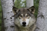 Wolf in Birches Fotografisk tryk af W. Perry Conway