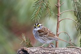 White-Throated Sparrow Reproduction photographique par Gary Carter