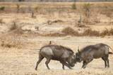 Young Warthogs Sparring Lámina fotográfica por Michele Westmorland