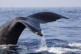 Humpback Whale Tail Fotografie-Druck von Michele Westmorland