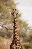 Endemic Thornicroft Giraffe Fotografie-Druck von Michele Westmorland