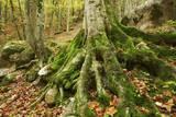 Roots of Spruce with Moss, Garnitzenklamm, Hermagor, Carinthia, Austria Lámina fotográfica por Frank Krahmer