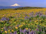 Mt. Hood with Wildflowers Photographic Print by Steve Terrill
