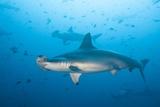 Scalloped Hammerhead Shark Fotografie-Druck von Michele Westmorland