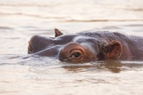 Hippopotamus Fotografisk tryk af Michele Westmorland