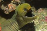 Panamic Green Moray Eel Showing it's Teeth Fotografisk tryk af Hal Beral