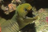 Panamic Green Moray Eel Showing it's Teeth Lámina fotográfica por Hal Beral