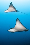 Spotted Eagle Rays Reproduction photographique par Michele Westmorland
