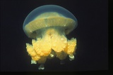 Stingless Jellyfish Reproduction photographique par Hal Beral