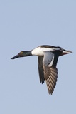 Male Northern Shoveler in Flight Reproduction photographique par Hal Beral