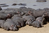 Hippopotamus Herd Resting Reproduction photographique par Hal Beral