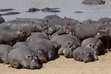 Hippopotamus Herd Resting Fotografisk tryk af Hal Beral