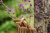 Carolina Wren Reproduction photographique par Gary Carter