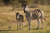 Burchell's Zebra Foal and Mother Fotografie-Druck von Michele Westmorland