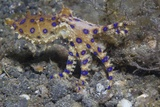 Blue-Ringed Octopus Fotoprint van Hal Beral