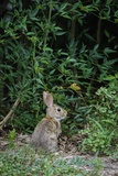 Eastern Cottontail Rabbit Photographic Print by Gary Carter