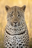 African Leopard Reproduction photographique par Michele Westmorland