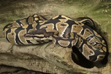 Ball Python Photographic Print by Joe McDonald