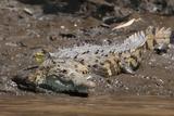 American Crocodile (Crocodylus Acutus) Fotografisk tryk af Sergio Pitamitz