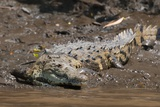 American Crocodile (Crocodylus Acutus) Photographic Print by Sergio Pitamitz