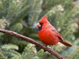 Northern Cardinal Perching on Branch, Mcleansville, North Carolina, USA Reproduction photographique par Gary Carter