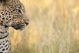 African Leopard Fotografie-Druck von Michele Westmorland
