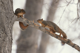 Fox Squirrels on Tree Branch Lámina fotográfica por W. Perry Conway