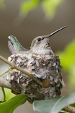 Anna's Hummingbird Sits on Eggs in Her Nest Reproduction photographique par Hal Beral