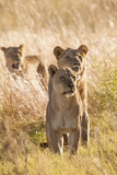 African Lionesses Reproduction photographique par Michele Westmorland