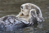 Southern Sea Ottter Floats with Paws out of the Water Fotografisk tryk af Hal Beral