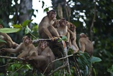 Troupe of Stump-Tailed Macaques (Macaca Arctoices) Fotografisk trykk av Craig Lovell