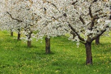 Cherry Plantation in Bloom Fotografie-Druck von Frank Krahmer