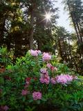 Douglas Firs and Rhododendrons Lámina fotográfica por Steve Terrill